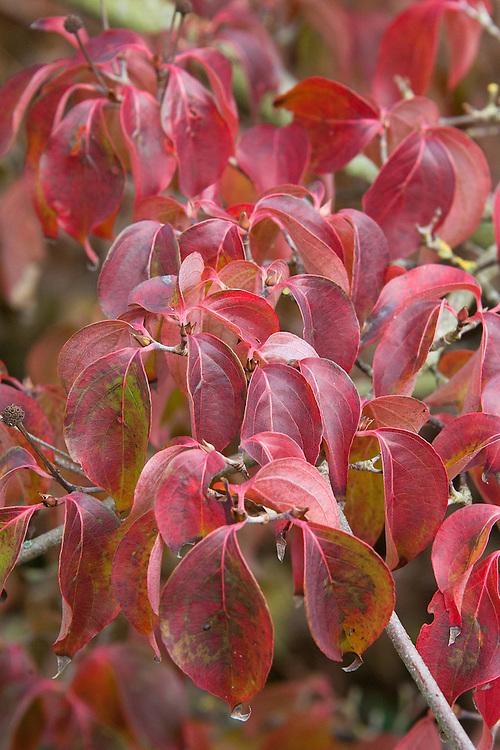 Autumn foliage of Chinese dogwood (Cornus kousa var. chinensis), early November.
