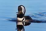 Drake hooded merganser calling on a northern Wisconsin lake.