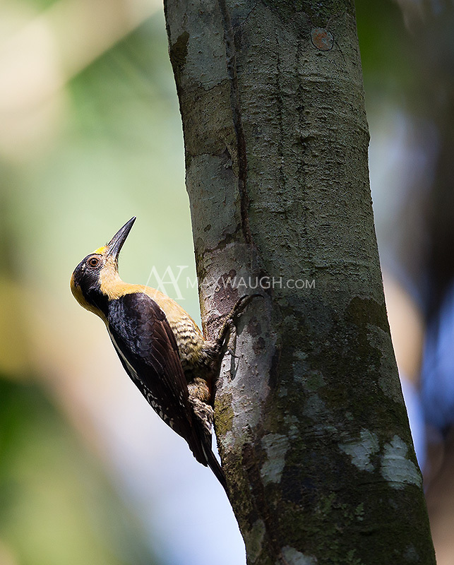 This was my first view of the Golden-naped woodpecker, photographed in Corcovado National Park.