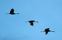 March 11, 2016 - Monte Vista, Colorado, U.S. - Sandhill Cranes in silhouette and on their way to roost in southern Colorado's Monte Vista National Wildlife Refuge.<br /> <br /> Each year more than 20,000 Sandhill Cranes migrate through the wetlands of the San Luis Valley's Monte Vista National Wildlife Refuge, Monte Vista, Colorado.  The Rocky Mountain population of the Greater Sand Hill Cranes spends more time in the San Luis Valley than at either of their wintering or breeding grounds.  The peak springtime migration is mid-March.