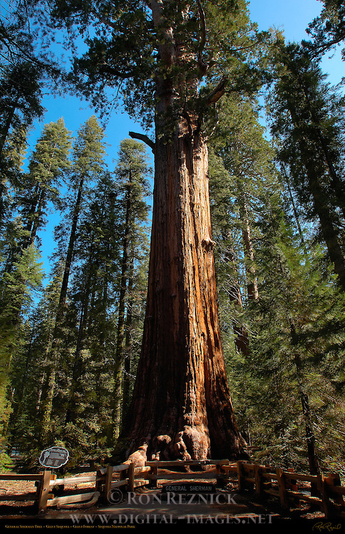 General Sherman Tree, World's Largest Tree by Volume, Giant Sequoia, Sequoiadendron giganteum, Giant Forest, Sequoia National Park