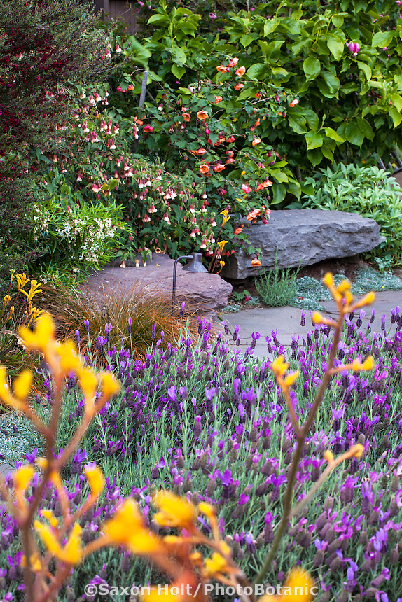 Purple flowering Spanish lavender (Lavandula stoechas) groundcover by path in drought tolerant California backyard garden; Roth-Epstein garden