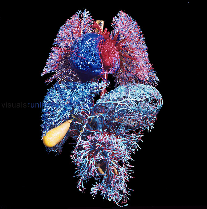 Major organs of the human body. Resin cast of the blood vessels of the lungs (top), heart (top, center), liver (light blue), gallbladder and biliary tract (yellow) and digestive tract (bottom). Arteries are colored red and veins blue.