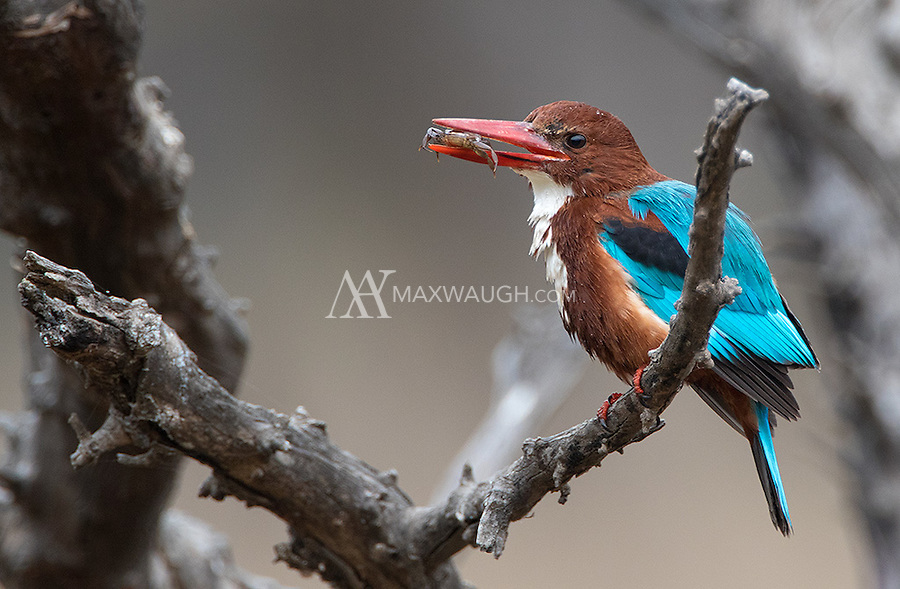 A White-throated kingfisher works on swallowing a freshwater crab it had caught.