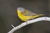 Nashville Warbler - Vermivora ruficapilla - male