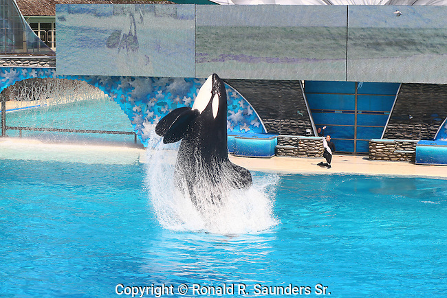 ORCA SHOW AT SAN DIEGO SEAWOLD