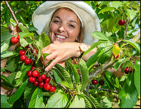 Bumper year for British cherries (With Video)
