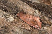 Violettbraune Ulmeneule, Laubholzauenhain-Straucheule, Cosmia pyralina, Lunar-spotted Pinion, la Pyraline, La Cosmie pyraline, Eulenfalter, Noctuidae, noctuid moths, noctuid moth