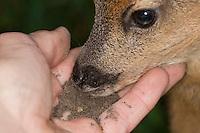 Rehkitz, Reh-Kitz, verwaistes, pflegebedürftiges Jungtier wird in menschlicher Obhut großgezogen, Kitz bekommt Erde zu fressen, wichtig für die Ausbildung einer gesunden Darmflora, Kitz, Tierkind, Tierbaby, Tierbabies, Europäisches Reh, Ricke, Weibchen, Capreolus capreolus, Roe Deer, Chevreuil