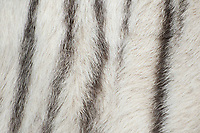 684100005 the stripe pattern of a white tiger panthera tigris a wildlife rescue at a wildlife rescue and care facility in southern california
