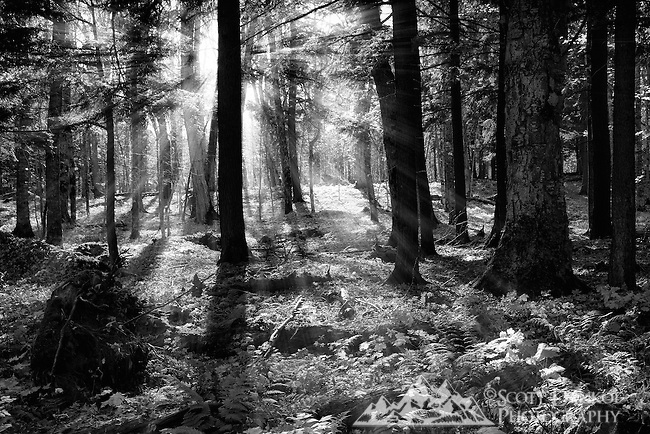 Late afternoon sunbeams cut through the forest.