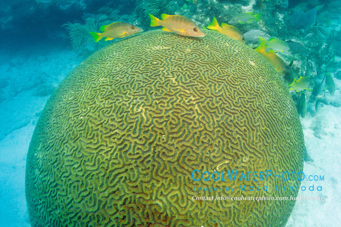 builder brain coral, Colpophyllia natans, .and schoolmaster, Lutjanus apodus, .Davis Reef, Islamorada, Florida Keys National .Marine Sanctuary, Florida (Atlantic).