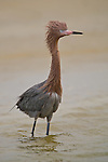 Reddish Egret on a breezy morning on Lido Key, Sarasota, FL.