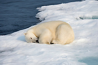 polar bear, Ursus maritimus, male, sleeping on iceberg, Baffin Island, Nunavut, Canada, Arctic Ocean