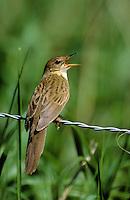 Feldschwirl, Feld-Schwirl, singend, Schwirl, Locustella naevia, grasshopper warbler
