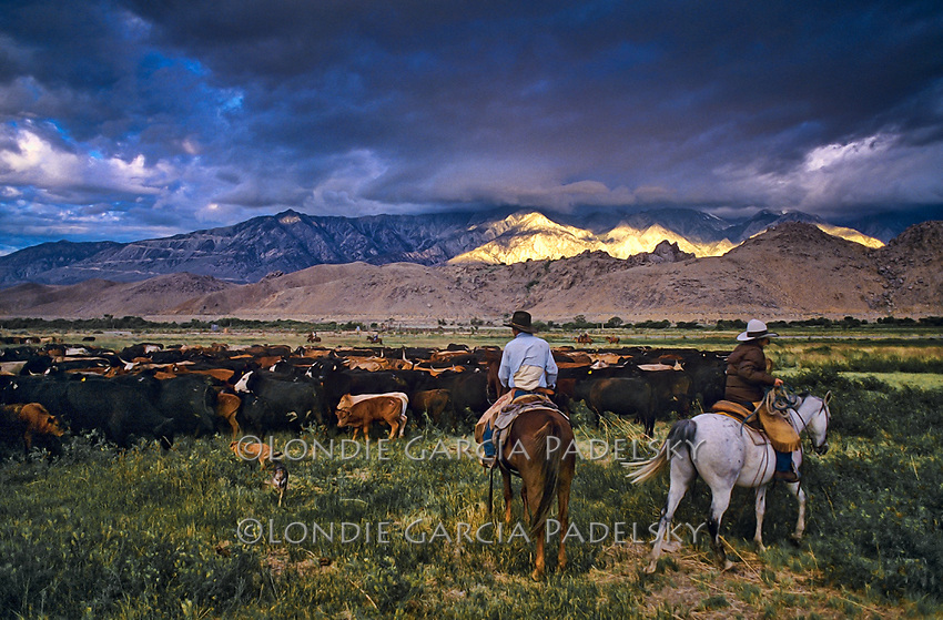 Cattle roundup at sunrise in the Owens Valley near Lone Pine, Eastern Sierra California