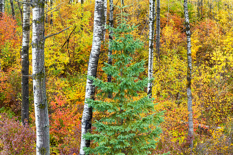 Fall color in a birch forest; Oneida County, WI