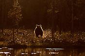 Wild Brown Bear - Finland
