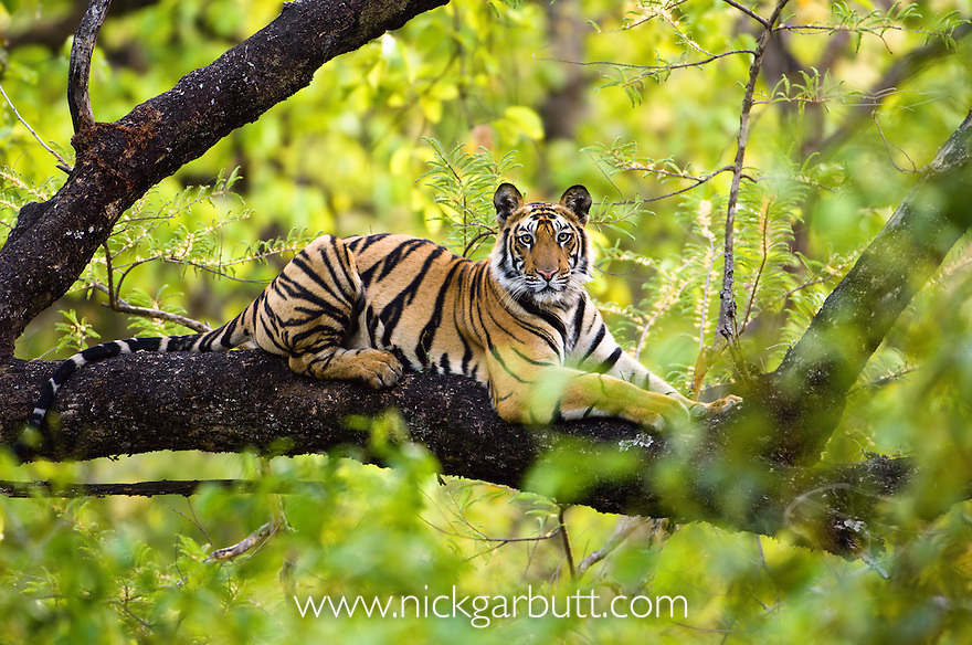 Adolescent male Bengal Tiger  (Panthera tigris tigris) (around 15 months) resting up a tree. Bandhavgarh NP, Madhya Pradesh, India.