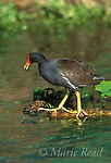 Common Moorhen (Gallinula chloropus), adult giving alarm calls, Florida, USA<br /> Slide # B47-484