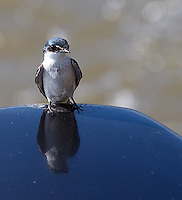Mangrove swallows would follow our boat on the Rio Tarcoles.