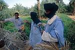 Cultures vivrières dans l'oasis d'Agassar. Mauritanie. Afrique. Vegetables crops in the Agassar oasis. Mauritania. Africa