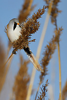 Bearded reedling or Bearded tit (Panurus biarmicus), Qai Dam Basin,  Tibetan Plateau, Qinghai, China