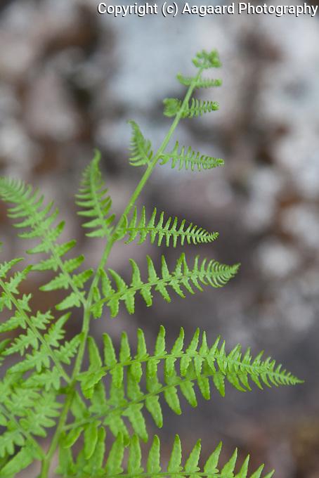 Spring fern, Fern Lake Trail, Rocky Mountain National Park