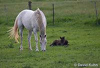 0509-0901  Grey Dutch Warmblood Horse, Mare with Resting Foal, Equus ferus caballus  © David Kuhn/Dwight Kuhn Photography