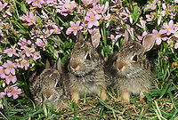 Three baby cotton tailed rabbits hide in the border of the lawn and garden