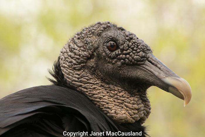 Black Vulture, Florida Everglades