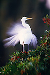 Great egret with breeding plumage, Venice, Florida