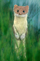 693785003 a wild short-tailed weasel mustela erminea sits on its hind legs and stares out through tall grass in yellowstone national park wyoming