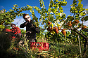 "07/09/18<br /> <br /> ***With Video***<br /> <br /> Connor Bradley.<br /> <br /> Grape picking starts at Amber Valley Wines in Wessington, Derbyshire. Managing Director, Barry Lewis, said: ""The hot summer means that yields from the vineyard are expected to be three times better than normal, reflecting a UK-wide harvest that is likely to be the best since the second world war"".<br /> <br /> <br /> All Rights Reserved: F Stop Press Ltd. +44(0)1335 344240  www.fstoppress.com www.rkpphotography.co.uk"