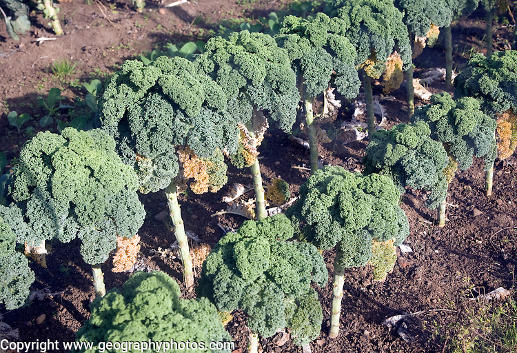Curly kale broccoli plants growing in vegetable garden