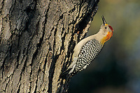 Golden-fronted Woodpecker, Melanerpes aurifrons,male calling at Oak Tree, New Braunfels, Texas, USA