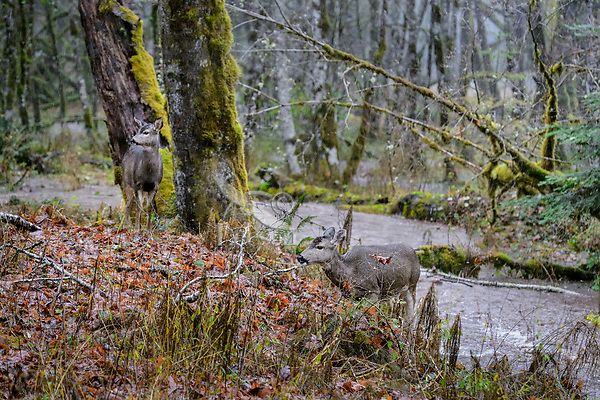 Columbian black-tailed deer (Odocoileus hemionus columbianus) does on rainy fall day.  Olympic National Park, WA.  November.