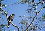 Ornate Hawk Eagle, Calakmul Biosphere Reserve, Mexico