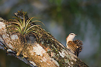 Rufous-naped Wren, Campylorhynchus rufinucha, adult preening in tree with bromeliads, Carara Biological Reserve, Central Pacific Coast, Costa Rica, Central America