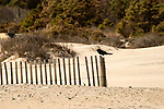 A Blackbird perches on a beach snow-fence in the dunes of Assategue Island, Maryland, USA.