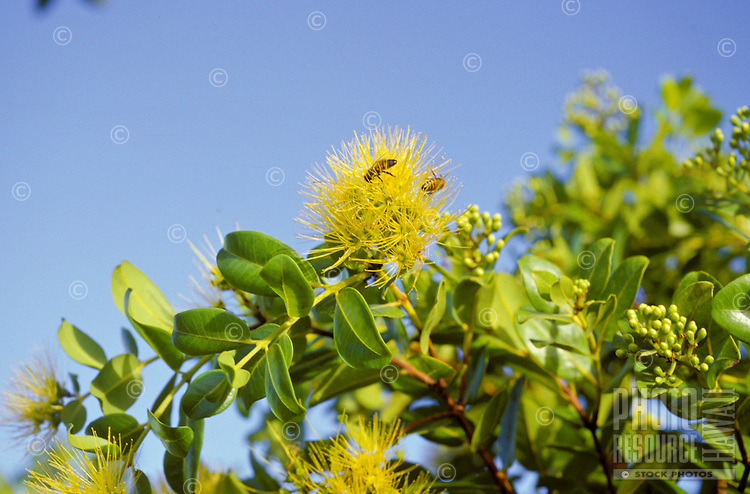 Ohia lehua yellow bloom,  Metrosideros polymorpha, bees in blossom