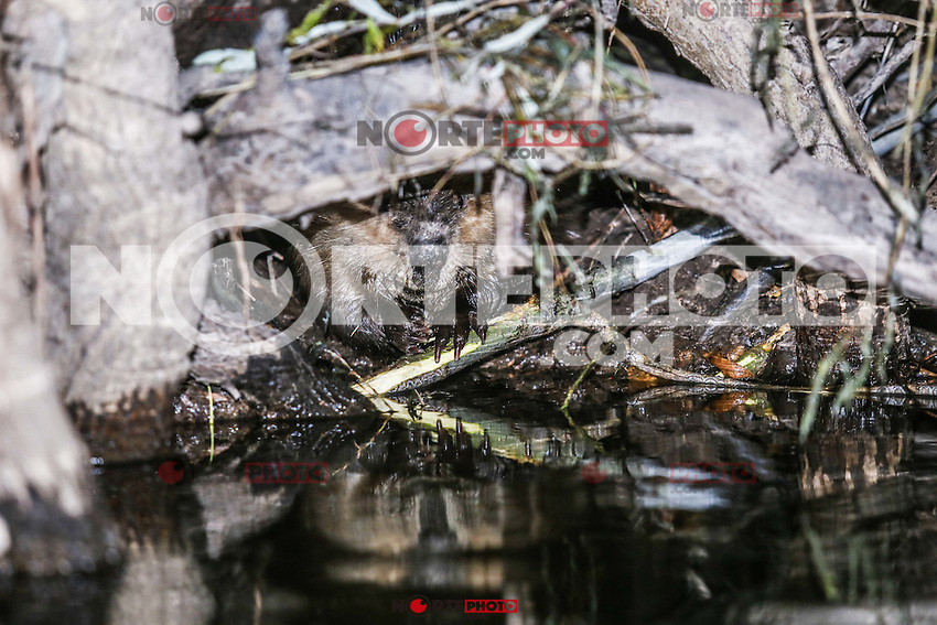 Ecosistema de diques de Castor Canadiense en la Cuenca los Ojos.<br /> CreditoFoto:NORTEPHOTO