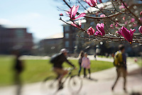 Japanese magnolia blossom, looking towards Swalm Hall.<br />