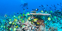 scuba diver, reef fish and table coral, French Frigate Shoals, Papahanaumokuakea Marine National Monument, Northwestern Hawaiian Islands, Hawaii, USA, Pacific Ocean