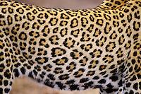 African Leopard (Panthera pardus)