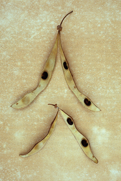 Two stems of dried seedpods of Laburnum or Laburnum anagyroides tree lying on antique paper and split open to reveal poisonous seeds