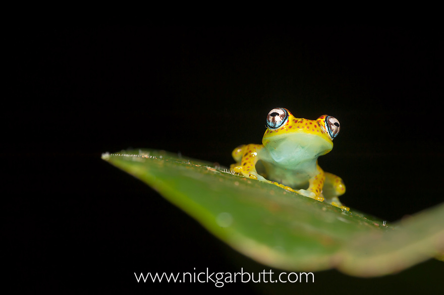 Rainforest Tree Frog (Boophis rappoides). Rainforest understorey, Mantadia National Park, Madagascar.