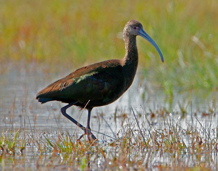 Adult non-breeding white-faced ibis