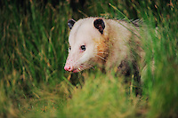 Virginia Opossum (Didelphis virginiana), adult, Refugio, Coastel Bend, Texas, USA