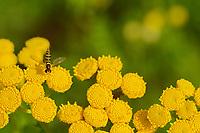 Hoverfly (Metasyrphus)  on Tansy wildflower (Tanacetum vulgare) <br />Kenora<br />Ontario<br />Canada
